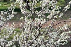 Blumen des Blütenpflaumenbaums auf dem Gebiet stockfotografie