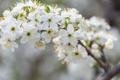 Blumen des Blütenpflaumenbaums auf dem Gebiet lizenzfreie stockbilder