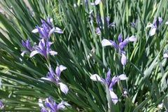 Blumen des blassen Veilchens von Iris sibirica im Frühjahr Stockfotografie