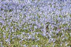 Blumen des blauen Sternes Lizenzfreies Stockfoto