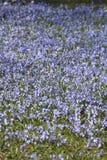 Blumen des blauen Sternes Lizenzfreies Stockbild