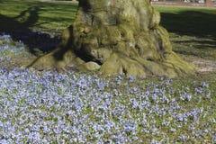 Blumen des blauen Sternes Stockfotografie