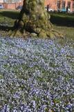 Blumen des blauen Sternes Stockfotos