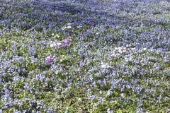 Blumen des blauen Sternes Lizenzfreie Stockfotos