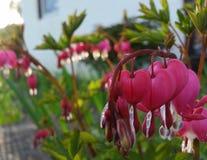 Blumen des blutenden Herzens lizenzfreie stockfotos