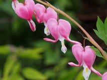 Blumen des blutenden Herzens Stockfotografie