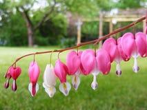 Blumen des blutenden Herzens, die vom Stamm hängen Stockbilder