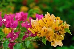 Blumen des Bouganvillas Lizenzfreie Stockfotografie