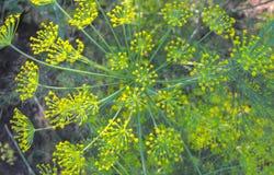 Blumen des Dills Lizenzfreie Stockfotografie