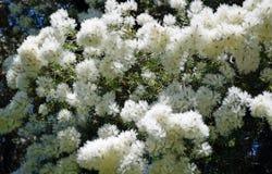 Blumen des Flachs Paperbark-Baums oder des Melaleuca-linariifolia in Laguna-Holz, Kalifornien stockfotos
