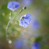 Blumen des Flachses Stockbild