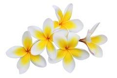 Blumen des Frangipani (Plumeria) getrennt auf Weiß Stockfotos