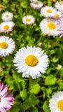 Blumen des Gänseblümchens Stockbild
