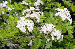 Blumen des gemeinen Weißdorns (Crataegus monogyna) Lizenzfreie Stockfotos