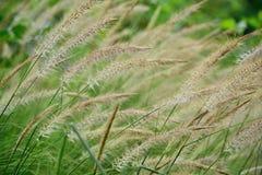 Blumen des Grases Stockfoto