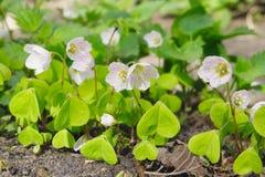 Blumen des hölzernen Sauerampfers Lizenzfreies Stockbild