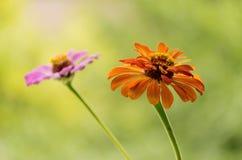 Blumen des Herbstes im Garten Stockfotografie