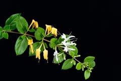Blumen des japanischen Geißblattes Lizenzfreies Stockbild