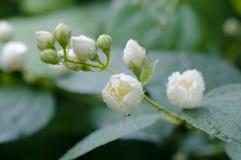 Blumen des Jasmins nach Regen Lizenzfreie Stockfotos