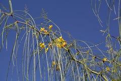 Blumen des Jerusalem-Dornes Stockfotografie