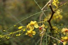 Blumen des Jerusalem-Dornes Lizenzfreies Stockbild