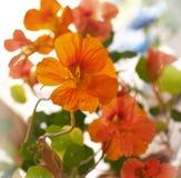 Blumen des Kapuzinerkäses Lizenzfreie Stockfotos
