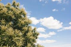 Blumen des Kastaniebaums Lizenzfreie Stockfotos