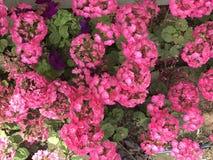 Blumen des kleinen Fingers Frühlingszeit… Rosenblätter, natürlicher Hintergrund ehrfürchtiges Klima Lizenzfreie Stockfotos
