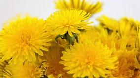 Blumen des Löwenzahns stock video footage