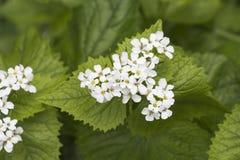 Blumen des Lamiumalbums, allgemein genannt weiße Nessel oder weißes d Stockbild