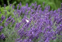 Blumen des Lavendels stockbild