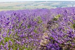 Blumen des Lavendels Lizenzfreies Stockbild
