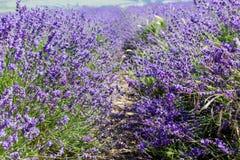 Blumen des Lavendels Lizenzfreie Stockfotos
