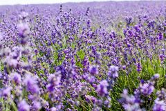 Blumen des Lavendels Lizenzfreie Stockfotografie
