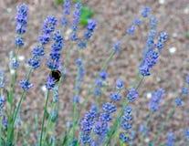Blumen des Lavendels Lizenzfreies Stockfoto
