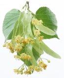 Blumen des Lindenbaums Lizenzfreie Stockfotos