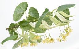 Blumen des Lindenbaums Stockbild