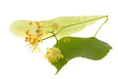 Blumen des Lindenbaums Lizenzfreies Stockbild