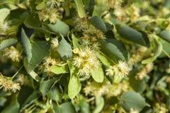 Blumen des Lindenholzes Stockfotografie