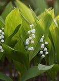 Blumen des Maiglöckchens, Convallaria majalis Stockfoto
