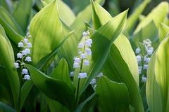 Blumen des Maiglöckchens, Convallaria majalis Stockfotografie