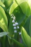 Blumen des Maiglöckchens, Convallaria majalis Stockbild