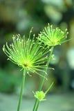 Blumen des Papyrusses Lizenzfreies Stockbild