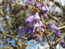 Blumen des Paulownia-Baums Lizenzfreie Stockbilder