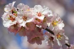Blumen des Pfirsichbaums Lizenzfreies Stockfoto
