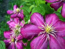 Blumen des purpurroten Clematis Stockfotos