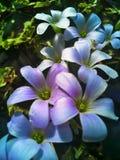 Blumen des purpurroten Klees lizenzfreies stockbild