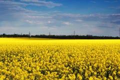 Blumen des Rapssamens stockfotos