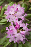 Blumen des Rhododendrons Stockfotografie