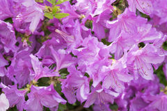 Blumen des Rhododendrons Stockbild